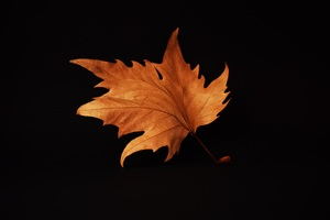 Autumn Leaf Black Background Wallpaper