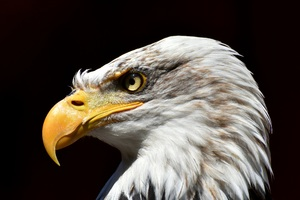 Bald Eagle Adler 5k Wallpaper