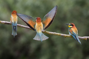 Bee Eaters Wallpaper