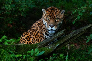 Big Cat Jaguar Wallpaper