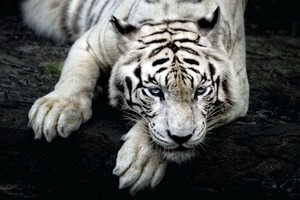 Big White Tiger Wallpaper