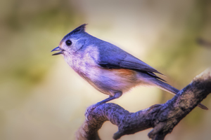 Black Crested Titmouse Wallpaper