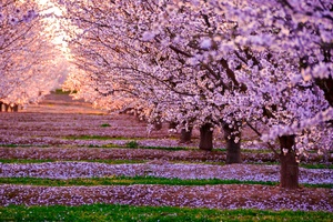 Blossom Nature Pink Flowers Trees Wallpaper
