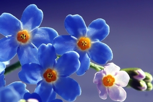 Blue Beautiful Flowers Wallpaper