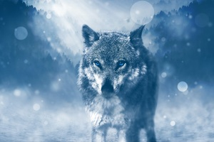 Blue Eyed Wolf Wallpaper