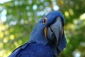 Blue Parrot Wallpaper