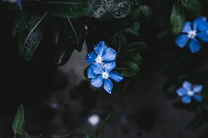 Blue Plant Flower Wallpaper