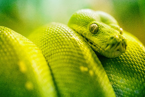 Boa Green Snake 5k Wallpaper
