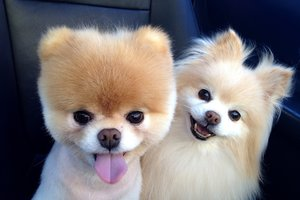 Boo Dog Breed