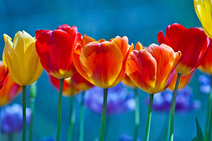 Brightly Colored Tulips Wallpaper