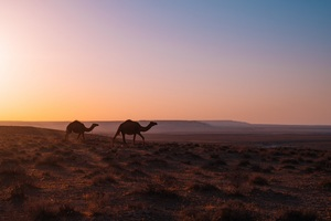 Camel Walking Through Desert Wallpaper