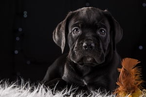 Cane Corso Dog Puppy 4k HD Wallpaper