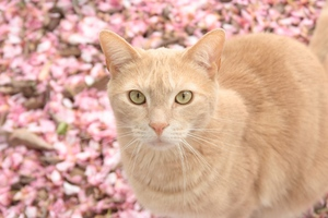 Cat On Pink Flowers Wallpaper