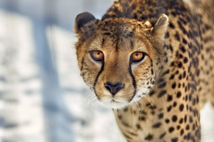 Cheetah Close Up Wallpaper