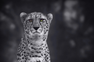 Cheetah Monochrome 4k Wallpaper