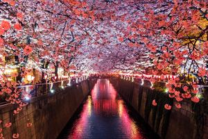 Cherry Blossom Trees Covering River Canal