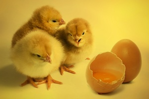 Chickens Chicks Wallpaper