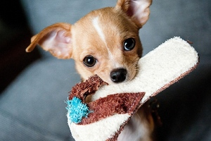 Chihuahua Puppies Wallpaper