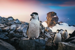 Chinstrap Penguin Wallpaper