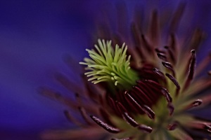 Clematis Macro Flowers 5k Wallpaper