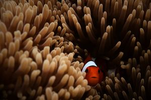 Clownfish Sea 5k Wallpaper