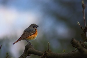 Common Redstart Wallpaper