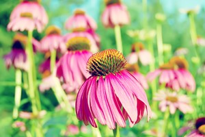Coneflower Purple