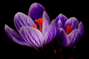 Crocus Flower Wallpaper
