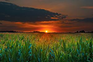 Crop Field Sunset Wallpaper