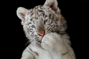 Cute White Tiger Cub Wallpaper