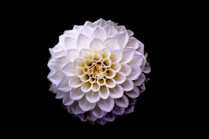 Dahlia Floral Flower 5k Wallpaper