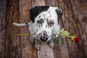 Dalmatian Dog Holding Red Flower In The Mouth Wallpaper
