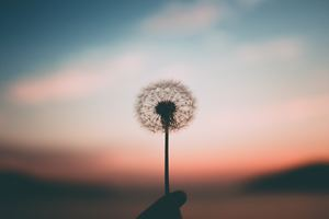 Dandelion 4k Wallpaper