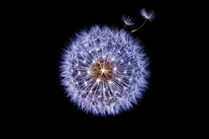 Dandelion Dark Background Wallpaper