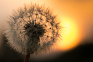Dandelion Flower 5k Macro Wallpaper
