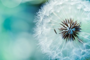 Dandelion Flowers Wallpaper
