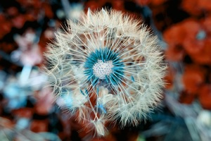 Dandelion Plant Close Up Macro Wallpaper