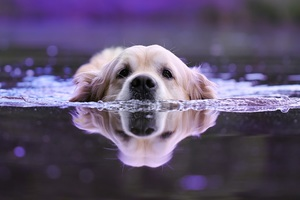 Dog Swimming Wallpaper