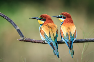 European Bee Eater Wallpaper