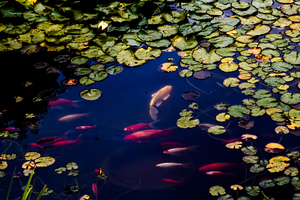 Fish In Pond Wallpaper