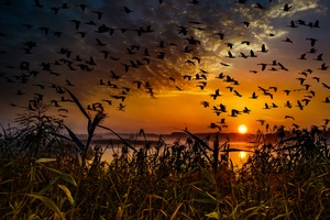 Flock Of Birds Flying At Dawn Time Wallpaper
