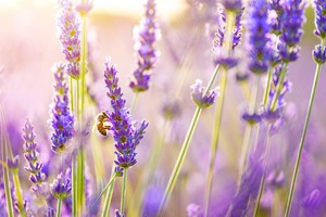Flowers Lavender Wallpaper