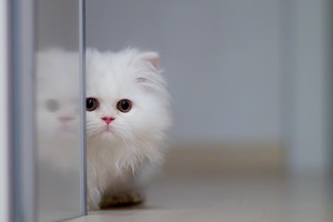 Fluffy Cat Wallpaper