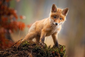 Fox Cub Baby Animal Cute Hd Wallpaper