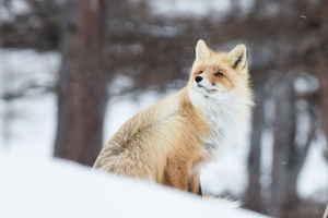 Fox In Snow 5k Wallpaper