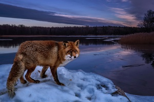 Fox On Lake Wallpaper