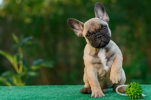 French Bull Dog 4k