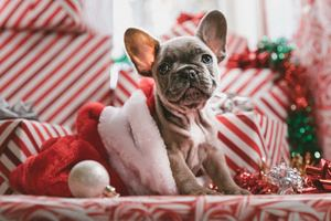 French Bulldog Christmas