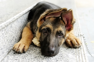 German Shepherd 2