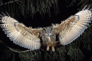 Great Horned Owl Wallpaper